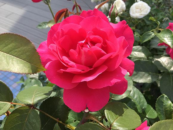flower_1620b.jpg