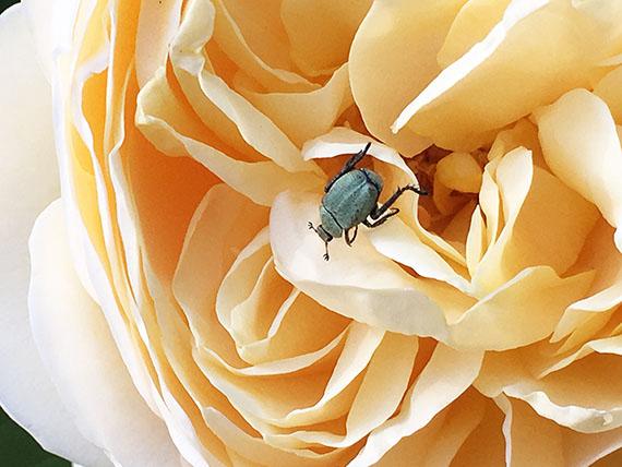rose_0830b.jpg