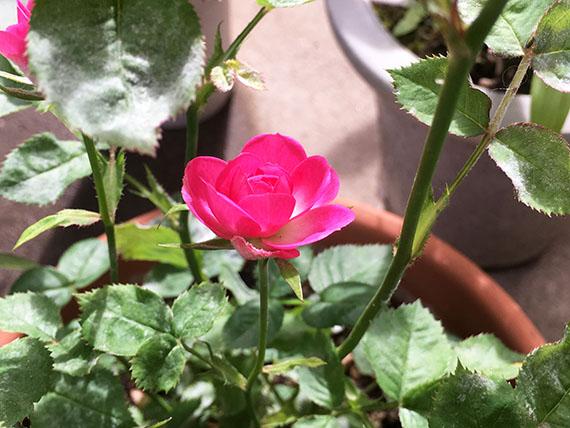 rose_8796b.jpg