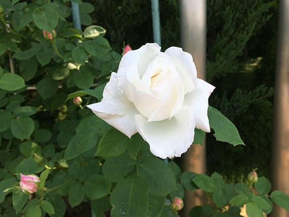 rose_9990c.jpg