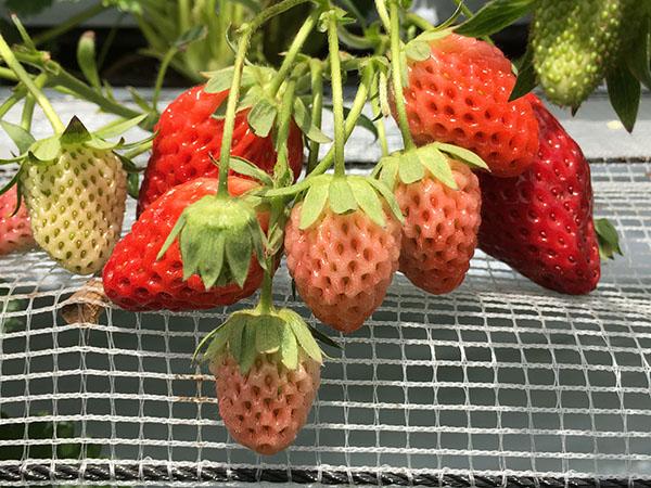 strawberry_9871a.jpg