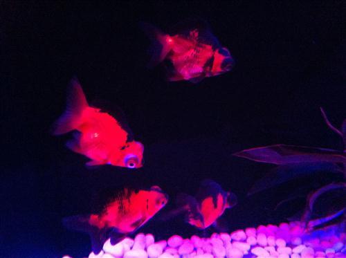 art-aquarium-2012_8542.JPG