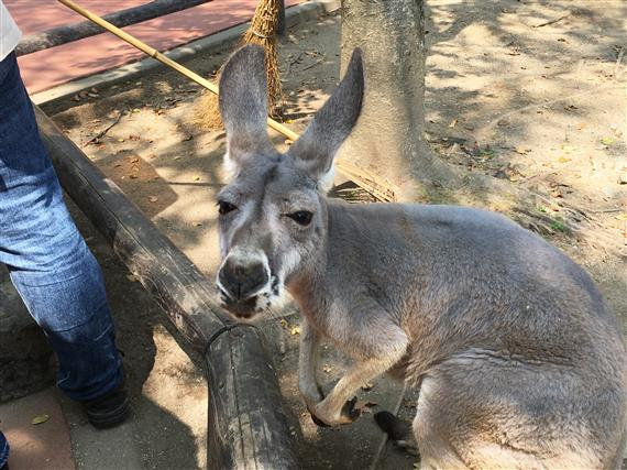 kangaroo_5564a.jpg