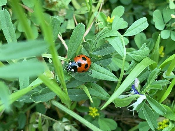 ladybug_2274a.jpg