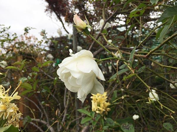 rose_4321a.jpg