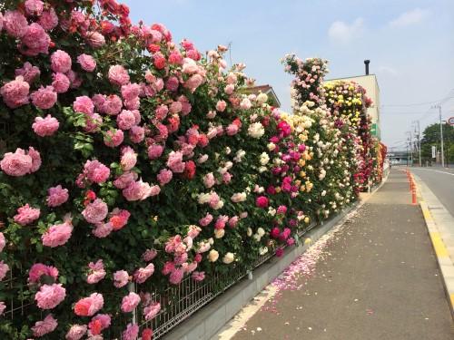 rose_7720b.jpg