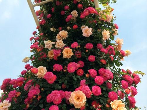 rose_7724a.jpg