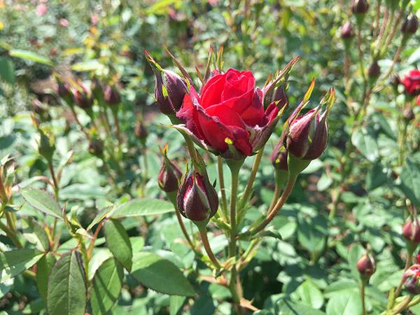 rose_9931b.jpg