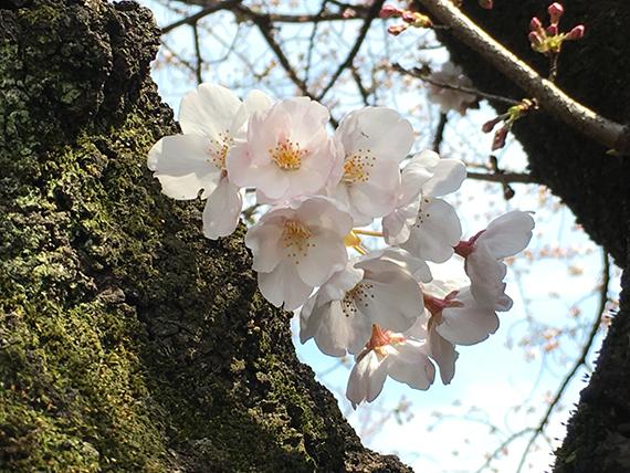 sakura_6895b.jpg