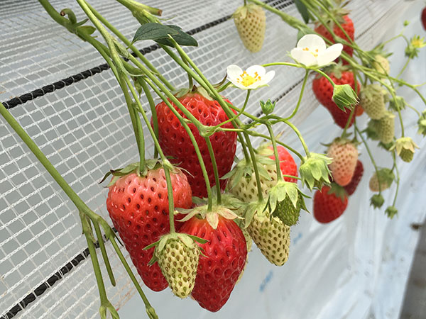 strawberry_9860a.jpg