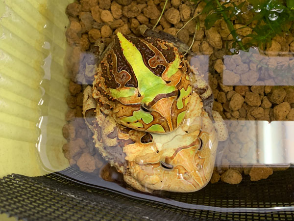 yuppie-okume-leaf_0252a.jpg